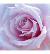 Фототапет Лилава роза